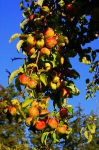Bountiful apple harvests!